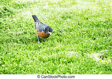 Robin in the grass - American robin on a grassy lawn