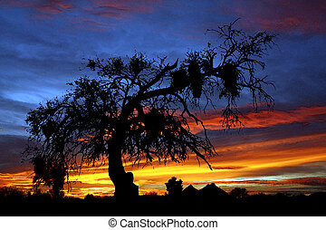 Painted Mesquite -  Painted Sunset Mesquite tree