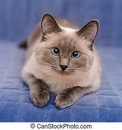 Cute colorpoint blue-eyed cat lying on blue sofa and looking...