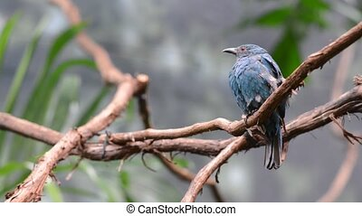 Fairy-bluebird Female - Fairy-bluebird female perched on the...
