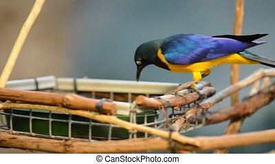 The Golden-breasted Starling - Lamp - Golden breasted...