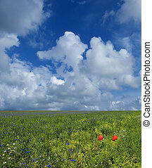 spring - grass meadow with poppies and blu sky