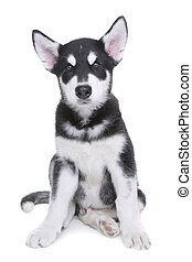 Alaskan Malamute Puppy on White Background in Studio -...