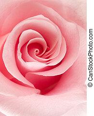 Pink rose - Close-up of a beautiful pink rose