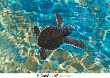 Baby turtle swimming in water