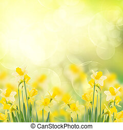 spring growing daffodils in garden isolated on white...