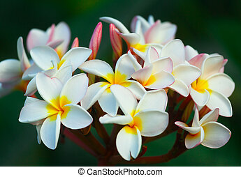 Plumeria flowers - A cluster of beautiful frangipani...