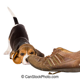 Curious beagle puppy