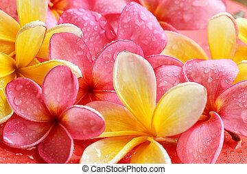 Bali flowers - frangipani, Bali flower