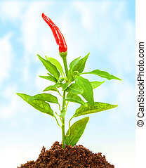 Chili pepper growth - Red hot chili pepper growth in the...