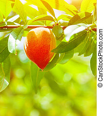 Juicy ripe peach hanging on the tree in orchard, fresh tasty...