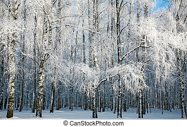 Russian winter in sunny birch grove