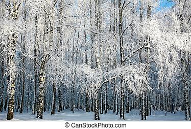 Russian winter in sunny birch grove