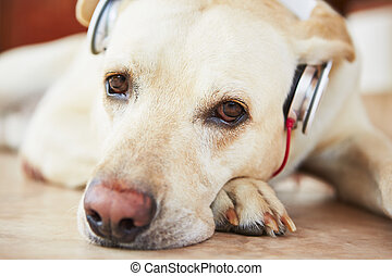 Dog is listening music - Labrador retriever is resting and...
