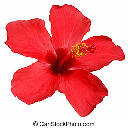 Hibiscus blossom - Detail of a red hibiscus blossom isolated...