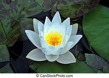 White lotus blossom - One water lotus - lily among many...