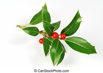 Holly - Christmas decoration - isolated holly with berries...