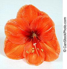 Orange amaryllis bloom isolated on the white
