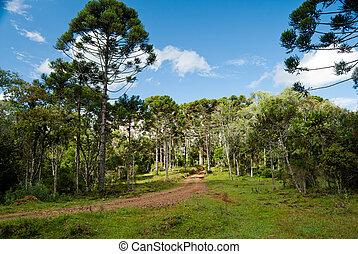 brasileño, pino, árboles, Un, Puesto peligro,...