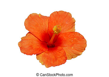Orange hibiscus with drops of dew isolated