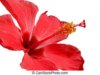 Hibiscus blossom - Detail of pink hibiscus blossom isolated...