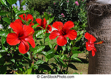 Hibiscus and palm - Hibiscus flower is growing next to the...