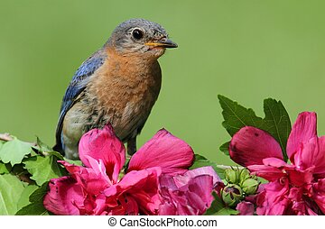 Female Eastern Bluebird (Sialia sialis) on a perch with...