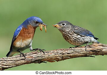 Male Eastern Bluebird Sialia sialis feeding his hungry baby...