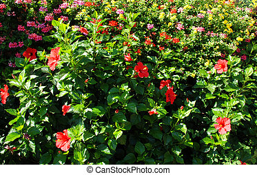 Hibiscus bush - Summer background of hibiscus flowers...