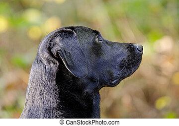 Labrador Portrait - Portrait eines Labrador R?den.