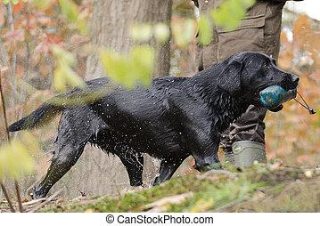 Labrador bringt Dummy - Labrador apportiert Dummy aus dem...