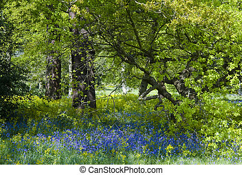 Bluebell wood - Carpet of bluebells in full bloom in a shady...