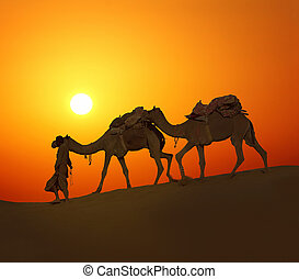 cameleerand camels - silhouette against sunset - cameleer...