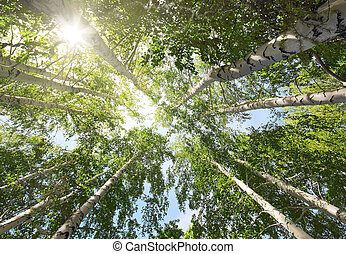 tops of birch trees and sun