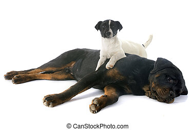 rottweiler and jack russel terrier - portrait of a purebred...