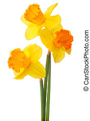 Daffodil flower or narcissus bouquet isolated on white...
