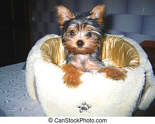 Yorkshire Terrier - Pet, Yorkshire terrier sitting on my...