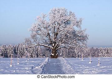 viejo, roble, árbol