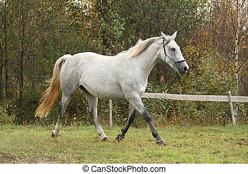 White arabian horse trotting in the forest - Beautiful white...