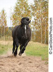Powerful galloping percheron in autumn - Powerful galloping...