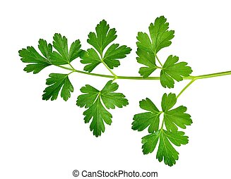 Parsley - Closeup of parsley leaves on a white background.