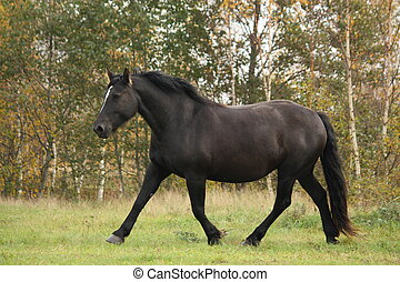 Black percheron trotting at the pasture in autumn