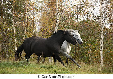 Black and white horse galloping at the field