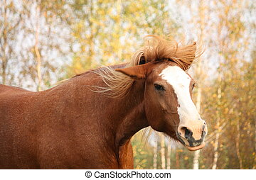 Palomino percheron portrait in autumn - Beautiful palomino...