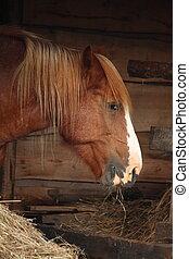 Palomino horse eating yellow hay - Palomino horse eating hay...