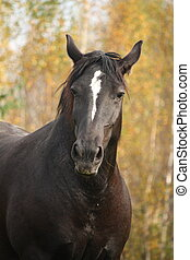 Portrait of black percheron in autumn - Portrait of...
