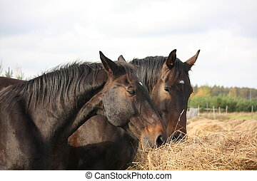 Brown horses eating yellow hay from stack