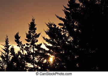 setting sun through braches - Fir trees silhouette and...