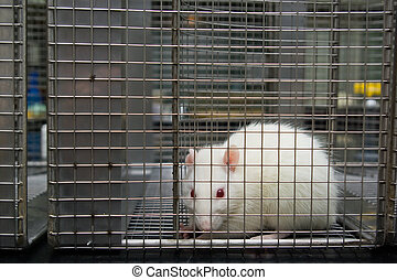 laboratory rat looking scared trapped in a cage