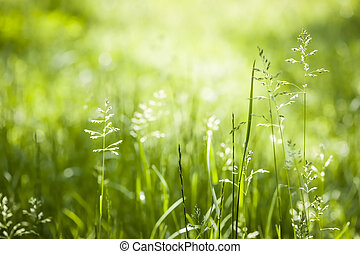 June green grass flowering - Summer flowering grass and...